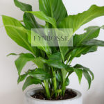 Peace lily in 17cm cement pot